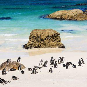 Pinguins Africanos - pinguins de pata preta na colónia de pinguins da praia de Boulder, Cidade do Cabo, África do Sul.